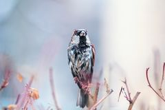 Portrait of cute funny wet proud Sparrow sits on prickly Bush a stock image