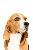 Portrait of cute furry beagle dog Stock Photo