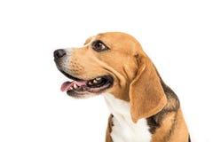 Portrait of cute furry beagle dog Stock Image