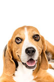 Portrait of cute furry beagle dog Stock Image