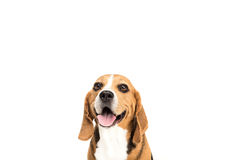 Portrait of cute furry beagle dog Royalty Free Stock Images