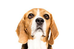 Portrait of cute furry beagle dog Royalty Free Stock Photos