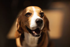 Cute furry beagle dog looking away Royalty Free Stock Photo