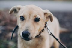 Portrait of cute golden puppy with sad black eyes and emotions in park. Dog shelter. Scared homeless doggy walking in city street. Adoption concept stock photography