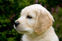 Portrait of cute Golden Retriever puppy Stock Image