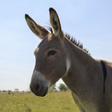 Portrait of cute gray donkey. With blue sky at the background. Square Stock Photo