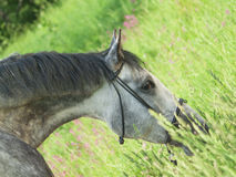 Portrait of cute grazing grey horse Stock Photo