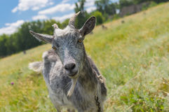 Portrait of a cute grey goat on a summer pasture Royalty Free Stock Photos