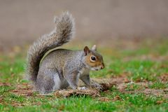 Portrait of a grey squirrel standing on a tuft of grass Stock Photography