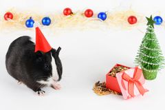 Portrait of cute guinea pig on a Christmas background. Guinea Pig Eats Vitaminized Feed. Funny New Year background. Guinea Pig with Christmas hat on white royalty free stock photo