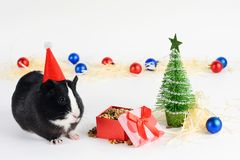 Portrait of cute guinea pig on a Christmas background. Guinea Pig with christmas hat on it. Funny New Year background. Portrait of cute guinea pig on a royalty free stock photos