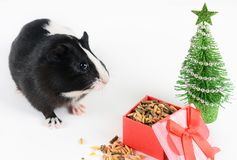 Portrait of cute guinea pig on a Christmas background. Guinea Pig with christmas hat on it. Funny New Year background. Portrait of cute guinea pig on a Christmas stock photo