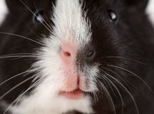 Portrait of cute guinea pig. Close up photo guinea pig muzzle. Portrait of cute guinea pig. Close up photo guinea pig muzzle Stock Photo
