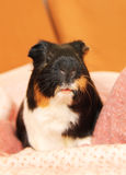 Portrait of cute guinea pig Royalty Free Stock Images