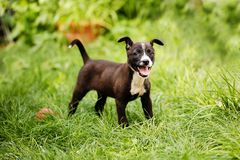 Portrait of a cute, happy mixed breed small puppy in black, brown and white colors, saved from the streets, playing in the backyar royalty free stock photos