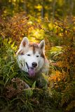 Portrait of cute and happy siberian husky dog with brown eyes sitting in fern grass in the forest at sunset in autumn. Profile Portrait of cute and happy stock photo