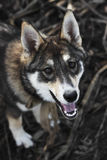 The Portrait of cute happy siberian laika. The Laika looks camera portrait autumn walk Royalty Free Stock Images