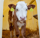 Portrait of cute healthy little calf Royalty Free Stock Image
