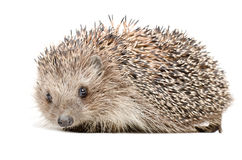 Portrait of a cute hedgehog Royalty Free Stock Photos