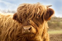 Portrait of a cute highland cattle. stock photos