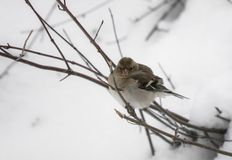 Portrait of cute hungry sparrow not used to cold temperatures and snowy winter, searching for food, isolated on tree branch royalty free stock images