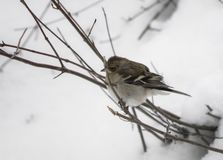 Portrait of cute hungry sparrow not used to cold temperatures and snowy winter, searching for food, on tree branch royalty free stock image