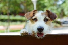PORTRAIT CUTE JACK RUSSELL DOG WITH PAWS HANGING EDGE A WOODEN BENCH stock image