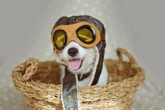 PORTRAIT CUTE JACK RUSSELL DOG WEARING A PILOT OR AVIATOR HAT GOGGLES INSIDE A WICKER BASKET AGAINST GRAY BACKGROUND royalty free stock photo
