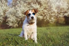 PORTRAIT CUTE JACK RUSSELL DOG WEARING SUMMER GLASSES AGAINST FLORAL SRPING BACKGROUND stock photography