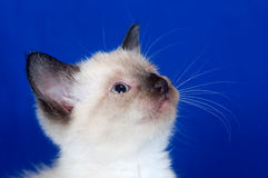 Portrait of cute kitten on blue Royalty Free Stock Photo