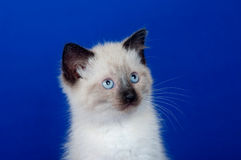 Portrait of cute kitten on blue Stock Images