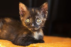 Portrait of a cute kitten Royalty Free Stock Photos