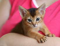 Portrait of a cute kitten in female hands Royalty Free Stock Image