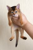 Portrait of a cute kitten in female hands Stock Photos