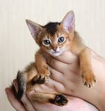 Portrait of a cute kitten in female hands Royalty Free Stock Photography