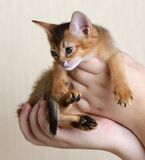Portrait of a cute kitten in female hands Stock Images
