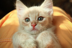 Portrait of a cute kitten Royalty Free Stock Photo