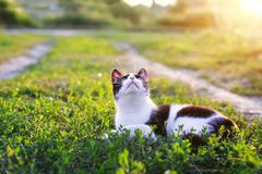 Portrait of a cute kitten lying in a Sunny green meadow on a warm summer evening funny raising her muzzle with a long mustache. Portrait of a kitten lying in a stock photos