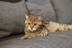Portrait cute of a kitten Scottish Straight royalty free stock photo