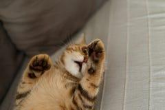 Portrait cute of a kitten Scottish Straight. Scottish cat golden marble stock image