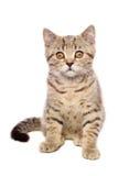 Portrait cute kitten Scottish Straight Royalty Free Stock Image
