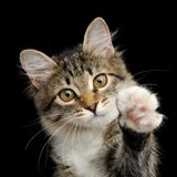 Cute Tabby Kitten on Black Background. Portrait of Cute Kitten with white breast, Looks Curious and Raising paw on Isolated Black Background, front view stock photography