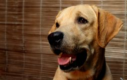 Cutest Labrador royalty free stock images