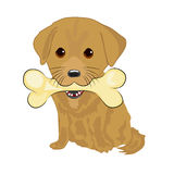 Portrait of cute labrador puppy holding big bone with mouth Stock Images