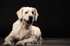 Cute Labrador Retriever on black background royalty free stock images