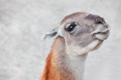 Portrait of cute lama. Young and curious lama looking in camera Stock Images
