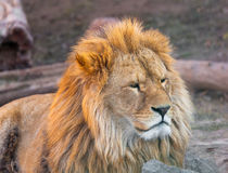 Portrait of a cute lion Stock Images