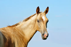 Portrait of cute little akhal-teke foal Stock Image