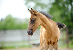 Portrait of cute little akhal-teke foal a few weeks years old in Royalty Free Stock Photo