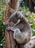 Portrait cute little Australian Koala Bear climbing in an eucalyptus tree and looking with curiosity. Kangaroo island. royalty free stock image